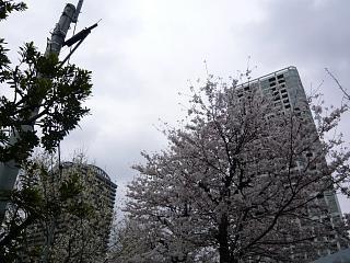 桜(その11)