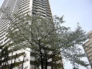 桜満開(その1)