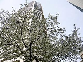 桜満開(その2)