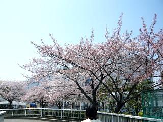 桜桜(その1)