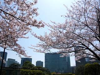 桜桜(その2)