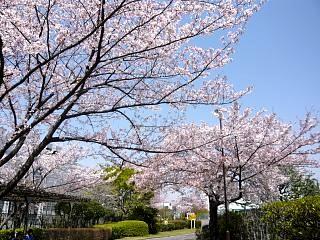 桜桜(その3)
