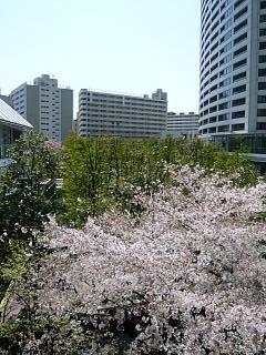 桜桜(インターシティその2)