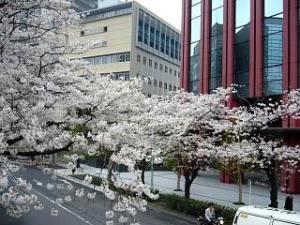 桜(田町)