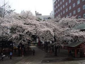 桜(花園神社)
