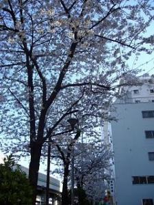 桜(五軒町)