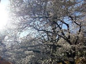 桜(靖国神社2)