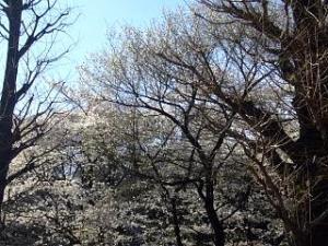 桜(靖国神社3)