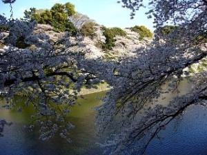 桜(千鳥ヶ淵1)