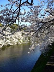 桜(千鳥ヶ淵3)