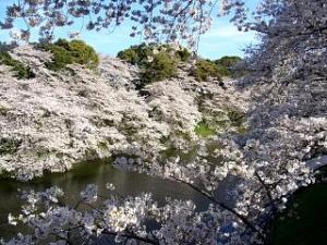 桜(千鳥ヶ淵4)