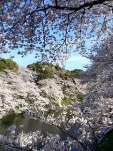 桜(千鳥ヶ淵5)