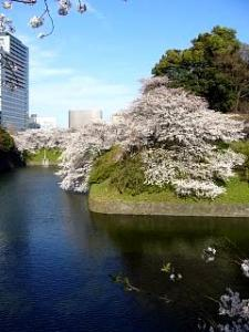 桜(千鳥ヶ淵6)