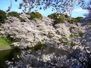 桜(千鳥ヶ淵7)
