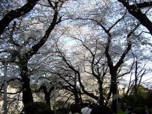 桜(千鳥ヶ淵8)