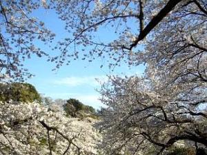 桜(千鳥ヶ淵9)