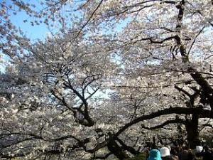 桜(千鳥ヶ淵10)