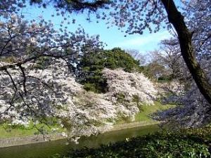桜(千鳥ヶ淵11)