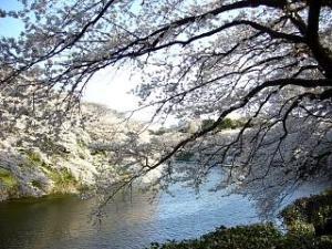 桜(千鳥ヶ淵12)