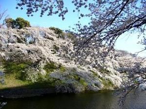 桜(千鳥ヶ淵13)