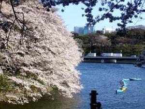 桜(千鳥ヶ淵15)