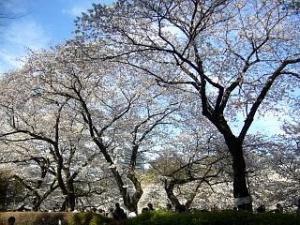 桜(千鳥ヶ淵17)