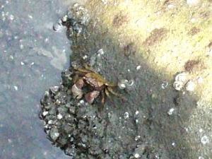 運河の生き物(蟹)