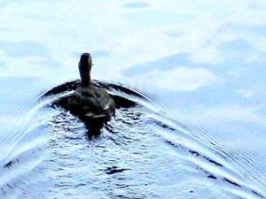 運河の生き物(鴨)
