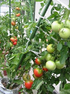 tomato2004-7-1.jpg