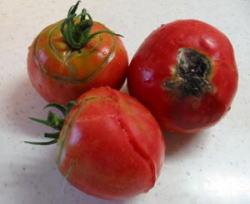 tomato2004-7-3.jpg