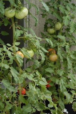 tomato2006-713-1.jpg
