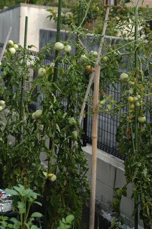 tomato2008-3.jpg