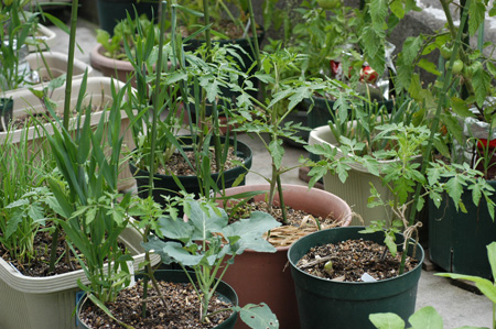 tomato2008-4.jpg
