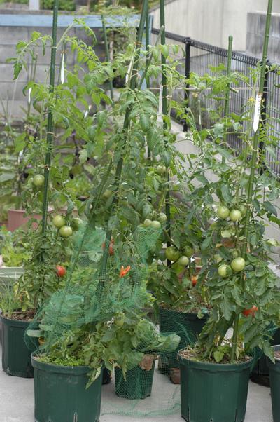 tomato2009-2.jpg