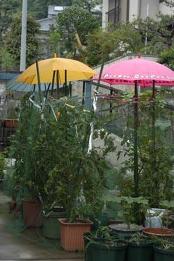tomatozenkei2005-711.jpg