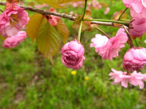 桜色、濃く。。。