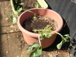 春植えソラマメ