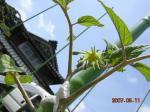 ブラックペア 花