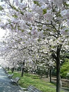 ひとりぼっちのお花見(苦笑)。八重桜。