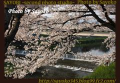 二番目の小夜子の写真館♪2009年4月6日京都鴨川の桜1 0169