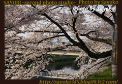 二番目の小夜子の写真館♪2009年4月6日京都鴨川の桜2 0170
