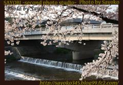 二番目の小夜子の写真館♪2009年4月6日京都鴨川の桜3 0171