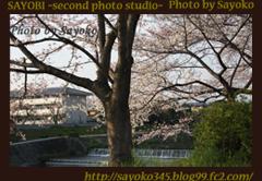 二番目の小夜子の写真館♪2009年4月6日京都鴨川の桜4 0172