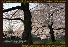 二番目の小夜子の写真館♪2009年4月6日京都鴨川の桜5 0173