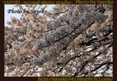 二番目の小夜子の写真館♪2009年4月6日京都鴨川の桜7 0175