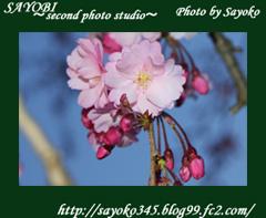 二番目の小夜子の写真館♪2009年4月5日京都植物園の桜のライトアップ11 0185