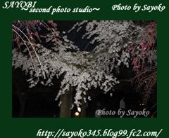 二番目の小夜子の写真館♪2009年4月5日京都植物園の桜のライトアップ2 0177