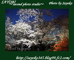 二番目の小夜子の写真館♪2009年4月5日京都植物園の桜のライトアップ4 0179