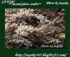 二番目の小夜子の写真館♪2009年4月5日京都植物園の桜のライトアップ8 0183