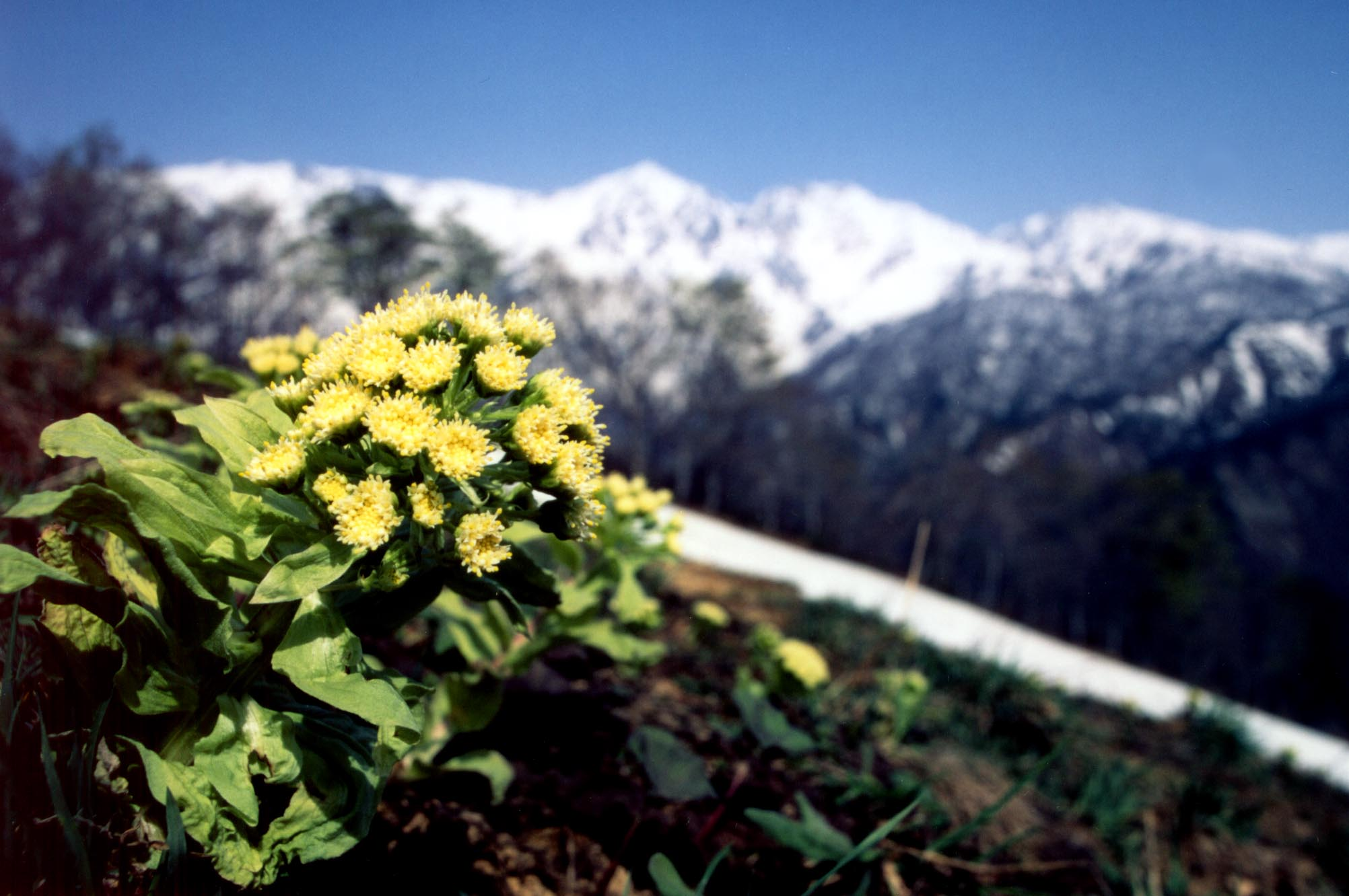 フキノトウ(花)と白馬三山